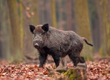 Дикий кабан – предок домашней свиньи