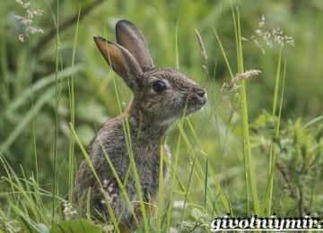 Заяц – краткая информация и описание животного, виды зайцев и их характеристики