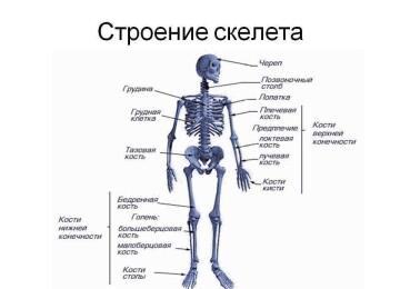Скелет и кости человека