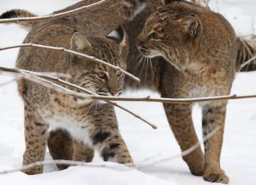 Животные Северной Америки. Названия, описания и фото животных Северной Америки