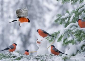 Снегирь описание птицы доклад сообщение