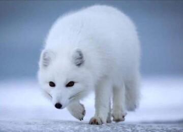 Животное песец: описание, места обитания, образ жизни и питание