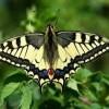 Бабочка махаон: описание и среда обитания