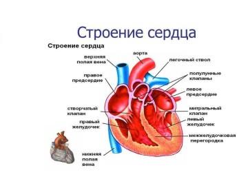 Сердце — энергетический насос