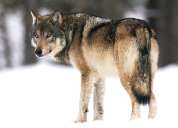 Доклад про волка для детей: внешний вид и образ жизни