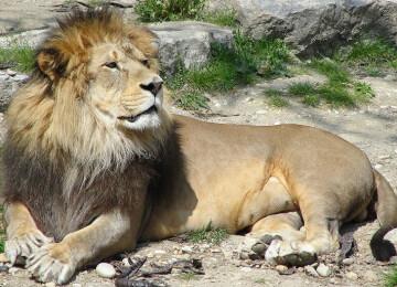 Сообщение про льва — описание, характеристика и виды животного