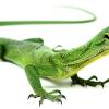 Живородящая ящерица: описание рептилии