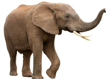 Слон — самое большое наземное животное
