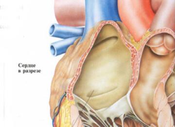 Строение сердца человека, описание для детей с картинками