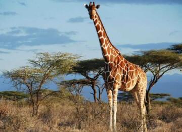 Самое длинношее животное