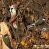 Большой пестрый дятел: описание, среда обитания, фото