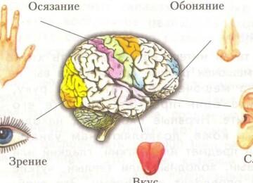 Что такое органы чувств