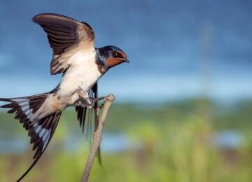 Дружелюбная птица ласточка: описание и образ жизни