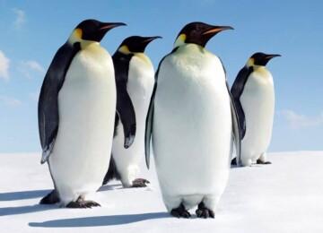 Доклад сообщение на тему Пингвины