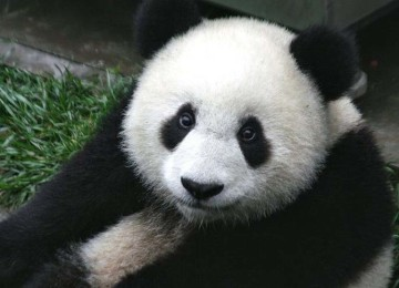 Панда животное занесенное в Красную книгу