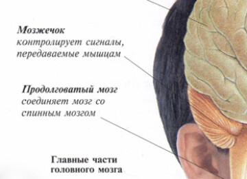 Строение головного мозга человека, картинки и описание для детей