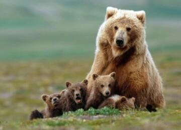 Сообщение о буром медведе – описание, образ жизни и среда обитания животного