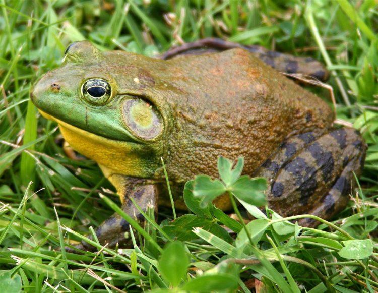 1280px-North-American-bullfrog1-e1524135378857.jpg