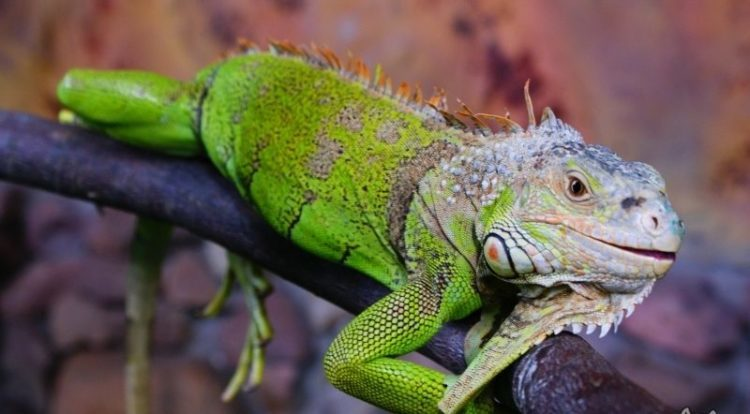1482014_iguana-foto-e1524136943645.jpg
