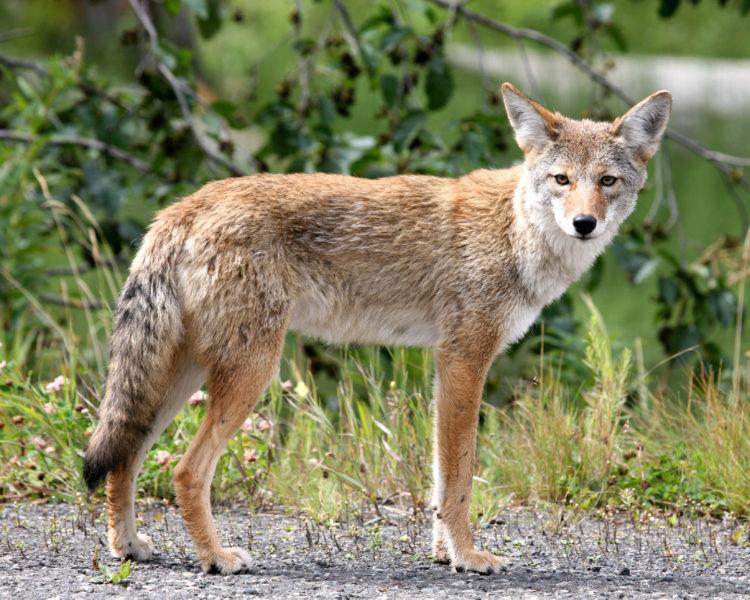 4246376-coyote-e1524135758429.jpg