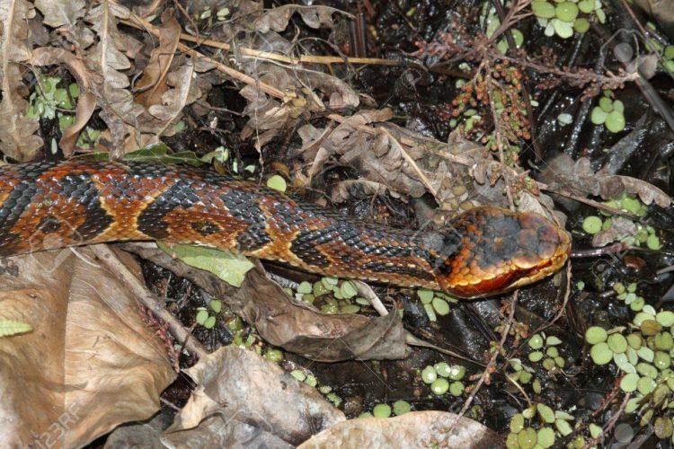 49202612-Cottonmouth-Snake-Agkistrodon-piscivorus-a-k-a-Water-Moccasin-Stock-Photo-e1524141084873.jpg