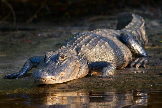 Alligator-mississippiensis-544x363.jpg