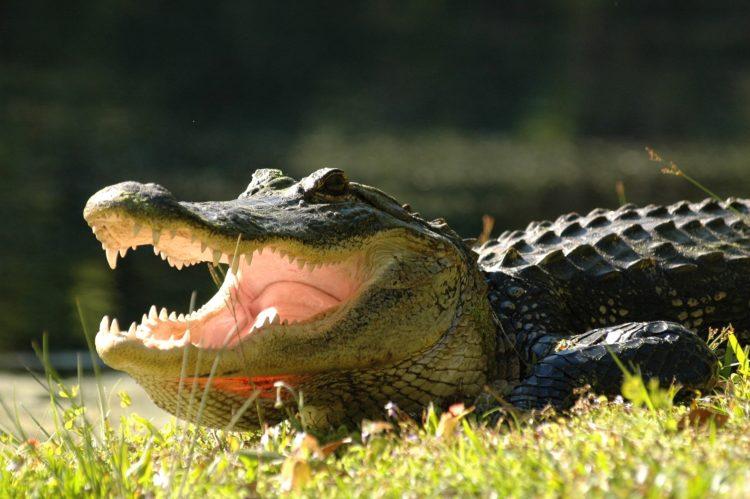 American-Alligator-03272006RTR5-e1524140938552.jpg