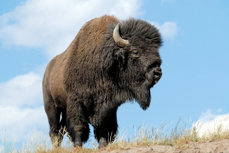 Amerikanskij-bizon.jpg