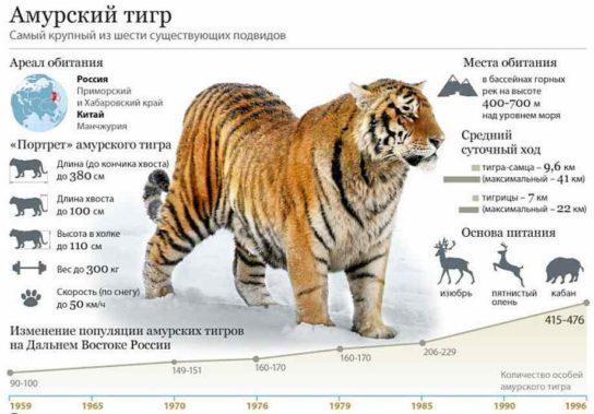 amurskiy-tigr-1-544x379.jpg