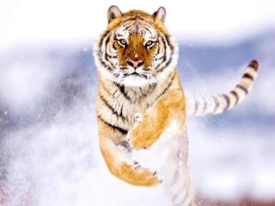 amurskiy-tigr-opisanie-544x408.jpg