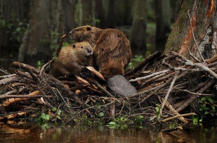 beaver-pair.jpg