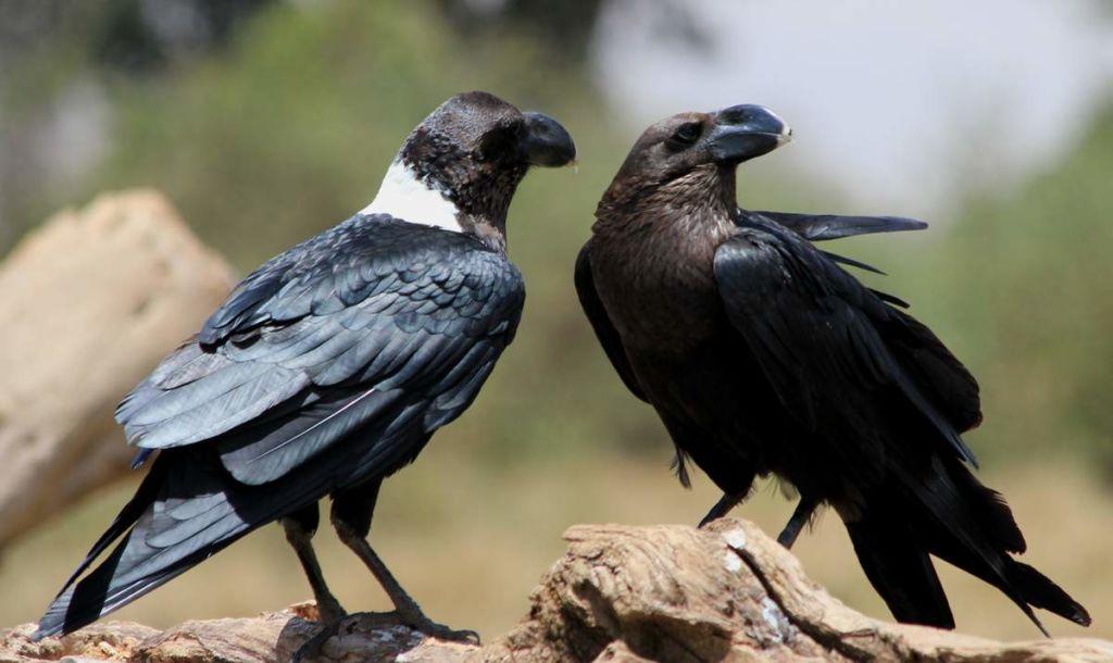 beloshhekij-voron-ptica-s-primechatelnoj-vneshnostju-animal-reader.-ru-001.jpg
