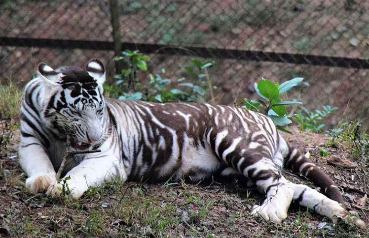 belyi-tigr.jpg
