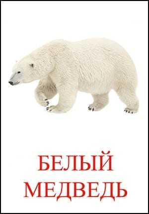BELYIY-MEDVED.jpg