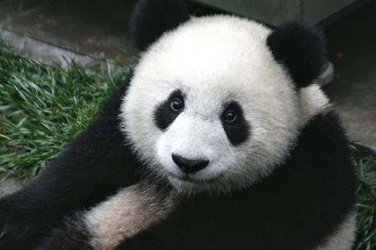 bolshaya-panda.jpg