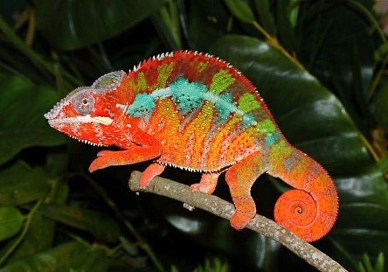 Chameleon-544x381.jpg