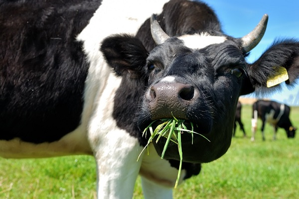 cow-chewing.jpg