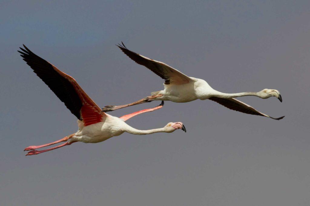 detenish_flamingo_foto.jpg