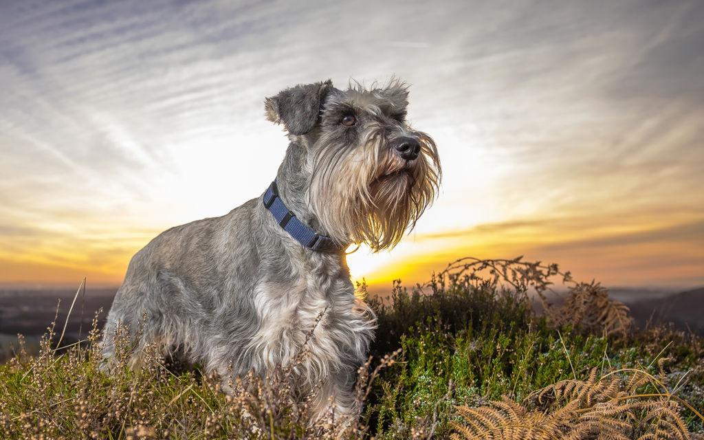 dogs_sunrises_and_sunsets_schnauzer_grass_542430_2880x1800.jpg