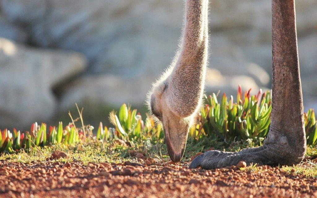 -едят-страусы-фото-1024x640.jpg