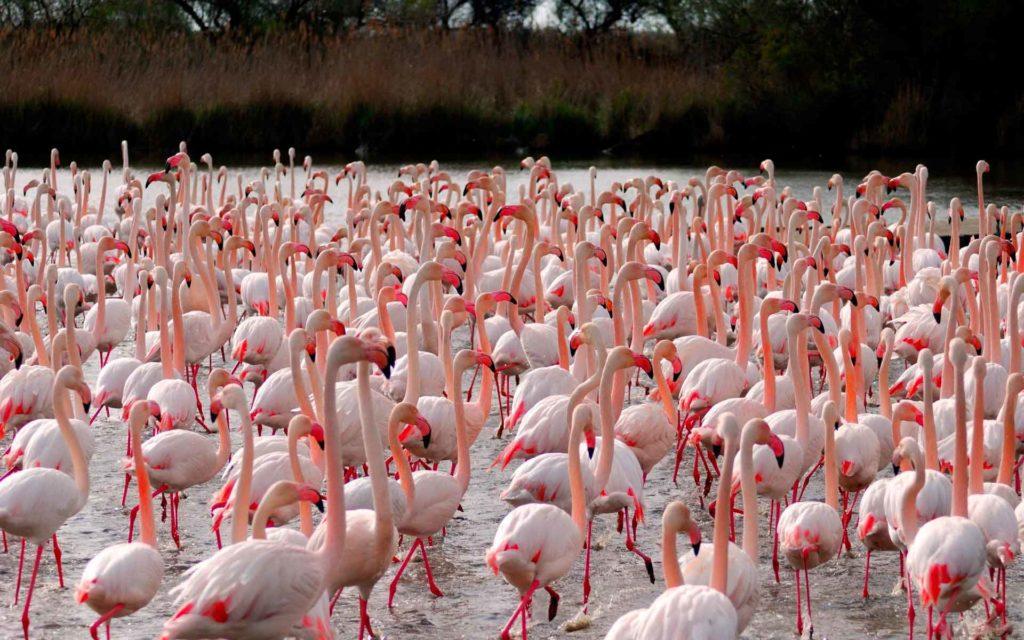 flamingo_obiknovenniy_staya.jpg