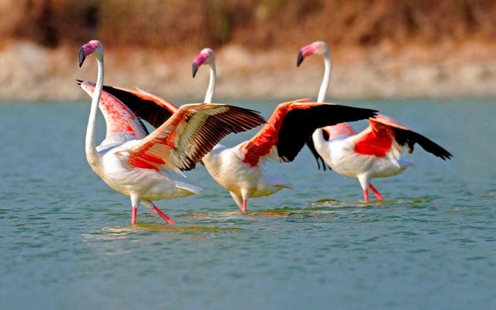 flamingo_obiknovenniy_tanec.jpg