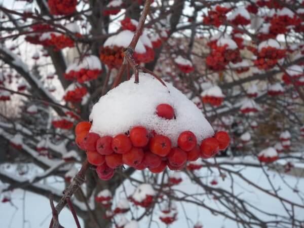 foto-ryabina-zimoy.jpg