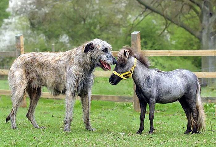 funny-irish-wolfhounds-4-5c18d38dcf9ec__700.jpg