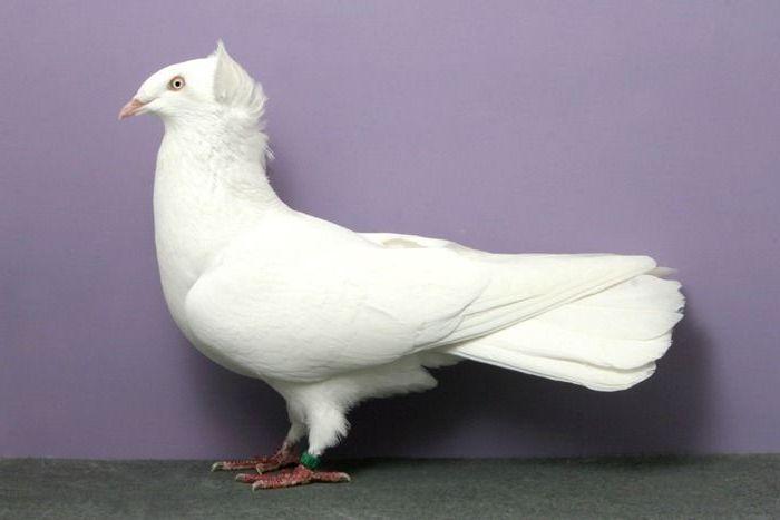 gdanskiy-visokoletniy-golub.jpg