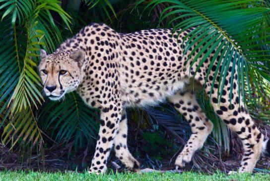 gepard-544x365.jpg