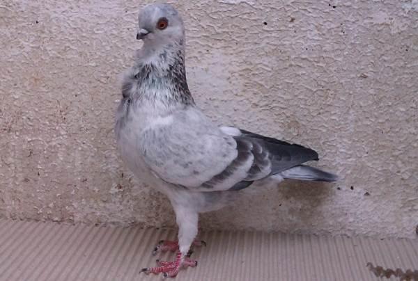 golub-ptica-opisanie-osobennosti-vidy-obraz-zhizni-i-sreda-obitaniya-golubya-10.jpg