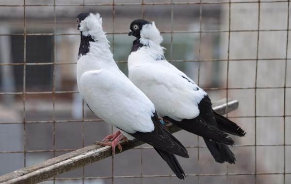 golub-ptica-opisanie-osobennosti-vidy-obraz-zhizni-i-sreda-obitaniya-golubya-12.jpg