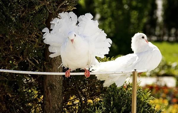 golub-ptica-opisanie-osobennosti-vidy-obraz-zhizni-i-sreda-obitaniya-golubya-13.jpg