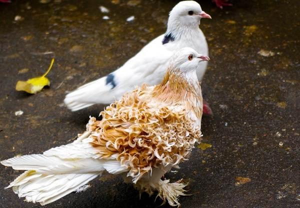 golub-ptica-opisanie-osobennosti-vidy-obraz-zhizni-i-sreda-obitaniya-golubya-14.jpg